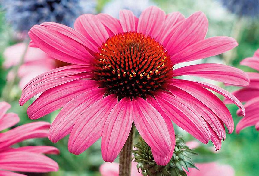Echinacea-purpurea-583